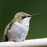 Hummingbird, Ruby Throated thumbnail