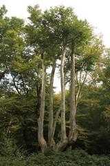 epp2 (Tony Wyatt Photography) Tags: eppingforest epping forest london woods trees beech mushrooms flyagaric alienmushroom puffball corporationoflondon autumn roots treeroots austin austinofengland austincar oldfolks
