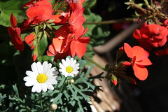 Geranium's & Daisies (daveandlyn1) Tags: flowers daisies geranium closeup macro crlfilter depthoffield garden shadows iii f3556 efs1855mm 1200d eos canon
