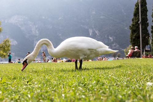 swan swim area