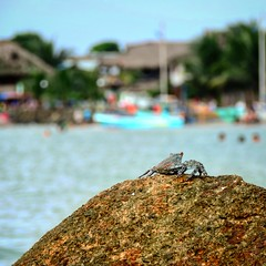 Cangrejo Criminal (chrislandfotografia) Tags: mar cangrejo foto fotografia mompiche playa beach water photooftheday picoftheday instagramer chrislandfotografia