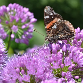 My First Butterfly Shot! Red Admiral