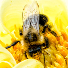 _DSC8067 Bee Macro (Charles Bonham) Tags: dahliahill midlandmi flowers dahlia insect bee pollen pollinator macro sonya7rll sonyfe100400gm charlesbonhamphotography