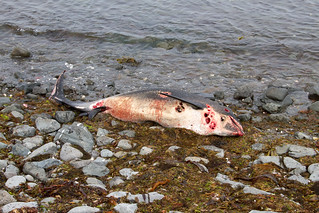 The fate of a White-beaked Dolphin IMG_8274