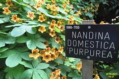 Savill Garden (davidshort) Tags: 2017 savillgarden nandinadomestica