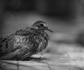 Rescued Juvenile pigeon I
