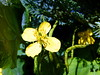 Schöllkraut (Martin To.) Tags: sommerblume wiesenblume wildblume einjähriges flora biotop blume flower martin tolle nature natur wiese makro pflanze hell schöllkraut chelidonium majus norddeutschland germany