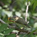 Red-eyed vireo / viréo aux yeux rouges