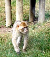 un singe (floradac) Tags: floradac beauval zooparc singe coolpixa10 nikon maquaque barbarie