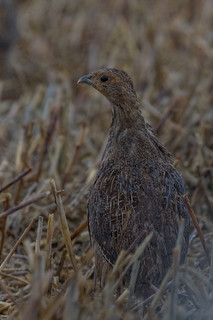 english partridge