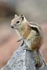 Golden-mantled Ground Squirrel (G. Lang) Tags: rockymountains twinsisterspeak animal sonyilce7m2 sonyalpha7ii tier import30072017 colorado goldmantelziesel goldenmantledgroundsquirrel callospermophiluslateralis spermophiluslateralis