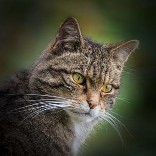 Scottish Wildcat 2