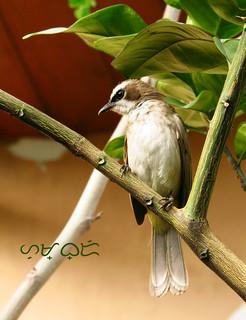 Pycnonotus goiavier