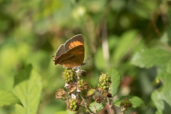 Brown Hairstreak at Alners gorse (explored) (Anne Richardson) Tags: hairstreak butterfly insect beautiful wildlife nature macro macrophotography brownhairstreak alnersgorse explored sigma canon 7dmkii
