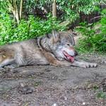 R.I.P. European Wolf, Diergaarde Blijdorp, Rotterdam, Netherlands - 5127 thumbnail