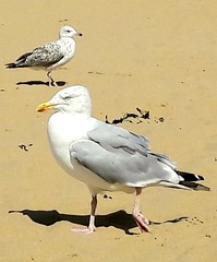 Only one thing on his mind......... (markwilkins64) Tags: beach seagulls gulls nature wildlife