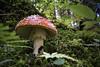 close encounters... (grobery) Tags: mushroom flyagaric amanita fungo velenoso poisonous red dof snow summer moss muschio sottobosco undergrowth