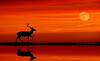 Reindeer by Moonlight (Andrea Kollo Photography) Tags: reindeer moonlight sunset sun moon fineart fineartprints fineartphoto andreakollo andreakollophotography red glow fullmoon harvestmoon redsky dramaticsky dramatic
