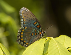 Red-spotted Purple (Limenitis arthemis) (AllHarts) Tags: redspottedpurplelimenitisarthemis spac hollyspringsms thesunshinegroup naturesspirit sunrays5 thebutterflygallery