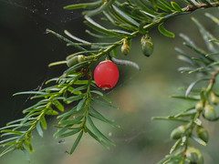 Yew berry. Explored (dave p brecks) Tags: yewberry trees olympus60mmmacro olympusem5markii day232
