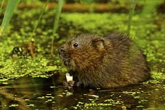 _DSC1164 - Water Vole (steve R J) Tags: water vole blue house farm ewt reserve north fambridge essex mammals british