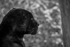 Jaguar (mellting) Tags: djurparker eskilstuna nikond500 parkenzoo platser sigma1506005063sport matsellting mellting nikon sverige sweden animal mammal zoo jaguar pantheraonca bigcat monochrome blackandwhite