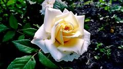 SAM_9007-Роза белая чайная. (chigrinof1) Tags: роза белая чайная зелень бутонылистьязеленьтраваяркаясадаллеялетосолнце