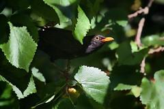 Melro (Carlos Santos - Alapraia) Tags: ngc ourplanet animalplanet canon nature natureza ave bird melro
