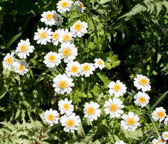feverfew (wmpe2000) Tags: 2017 ct summer daytrip hollisterhousegardens flowers feverfew tanacetumparthenium asteraceae sunflowerfamily orderasterales white yellow