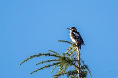 A la cime ! (valfoto91) Tags: oiseau jardin cime cèdre poitou