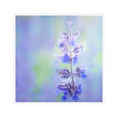 L'amour est bleu (BirgittaSjostedt) Tags: flower plant wild garden closeup macro frame texture paint birgittasjostedt magicunicornverybest ie