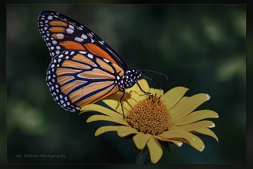 Monarch Butterfly / Monarque  / Danaus plexipus