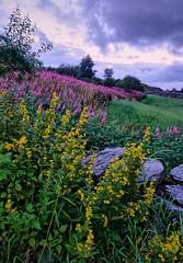 Summer, Porshaug - Norway (Vest der ute) Tags: xt2 norway rogaland haugesund flowers grass sky clouds rocks earlymorning outdoor trees fav25 landscape fav200