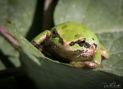 Tree Frog - eye to eye (1 of 1) (DavidGuscottPhotography) Tags: treefrog green tiny minature macro eye vancouver jerichopark