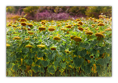Resting ...... (Missy Jussy) Tags: sunflowers flowers sunlight france southwestfrance canon canon5dmarkll 50mm ef50mmf18ll canon50mm fantastic50mm