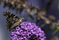 The Butterfly Bush...  Explore (R Joanne) Tags: butterflies summer ourdailychallenge rjoannejohnson paintedlady butterflybush