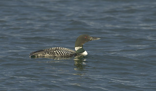 Common Loon (Great Northern Diver)