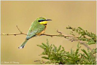 The Lovely Bee-eater!