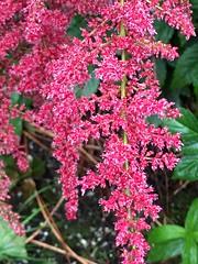 (PokeMama) Tags: flowerbed perennial blossom bloom spray flower pink magenta