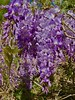 Jacaranda Tree (1DesertRose) Tags: lavender petals lovely pretty iphone iphone7 nature natural colorful colours colors day green blue sky purple flowers tree jacarandatree jacaranda spring