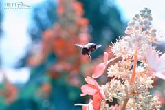 Enchanted Garden (Hi-Fi Fotos) Tags: bee insect flower garden buzz flying plants pollen nature outdoors wings petals bokeh nikkor 40mm micro nikon d7200 dx hififotos hallewell