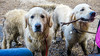 Agnes and Purdy (Mark Rainbird) Tags: thelookout retriever ufton powershotg7xmarkii dog canon puppy uk bracknell agnes purdy surreyheathdistrict england unitedkingdom gb