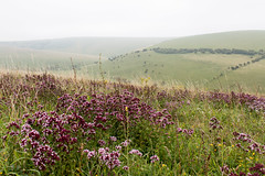 Wild Marjoram on the South Downs (Keith in Exeter) Tags: marjoram southdowns nationalpark flowers herbs grass rolling hills landscape misty lewes lewesdowns downs sussex england field outdoor nature areaofoutstandingnaturalbeauty naturereserve plant