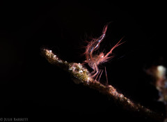 Tiny, hairy algae shrimp! (jcl8888) Tags: scuba diving underwater algaeshrimp macro marine tiny phycocarissimulans indonesia komodo mermaidiiliveaboard nauticamsupermacroconverter supermacro blackbackground shrimp crustacean orange hairy nikond7200 105mmvr