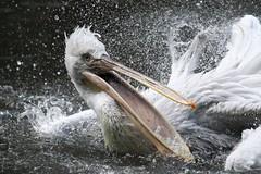 Der Jäger / The Hunter (FrlHeinrich) Tags: tierparkberlin zoo tierpark krauskopfpelikan canon natur photo berlin nature stadt tiere animals eos vogel bird fliegen fly 7d aktion wasser water pelican pelikan spritzer splash