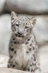Snow Leopard Cubs. (LisaDiazPhotos) Tags: los zoo angeles snow leopard cubs lisa diaz photos
