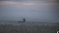 Hoge Veluwe Bronst Edelherten Mist (RMRJ_L) Tags: hoge veluwe bronst edelherten mist
