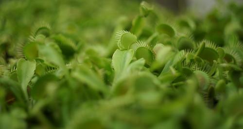 Venusvliegenval (Dionaea muscipula)