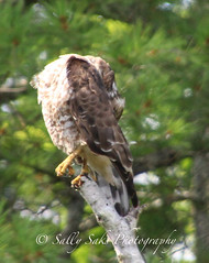 IMG_4179brwnghwkpreencopyg (Sally Knox Sakshaug) Tags: select nature outdoors alive broadwinged hawk perched stump tree feathers face beak eyes tail claw feet breast