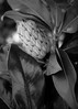 Magnolia in InfraRed (Mr. Greenjeans) Tags: magnolia fauxinfrared seedhead nature